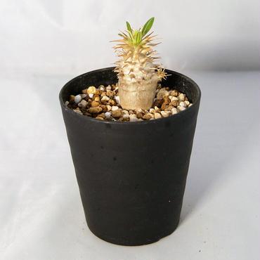 塊根植物 パキポディウム・マカイエンセ(Pachypodium makayense)  和名:魔界玉