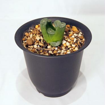 多肉植物  万象  雪国(Haworthia truncata var.maughanii)