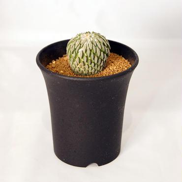 サボテン 精巧丸(Pelecyphora aselliformis)  実生