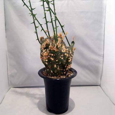 塊根植物 アデニア グロボーサ(Adenia globosa)【送料無料】