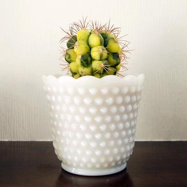 サボテン 新天地錦(Gymnocalycium saglionis f. varieg)鉢付き【送料無料】