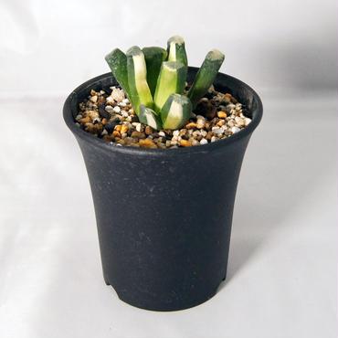 多肉植物  万象錦(Haworthia truncata var.maughanii)