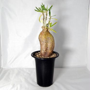 塊根植物 パキポディウム サキュレンタム(Pachypodium succulentum)天馬空【送料無料】