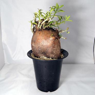 塊根植物 パキポディウム ビスピノーサム(Pachypodium bispinosum)【送料無料】