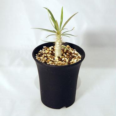 塊根植物 パキポディウム グラキリス(Pachypodium rosulatum var.gracilius) 小