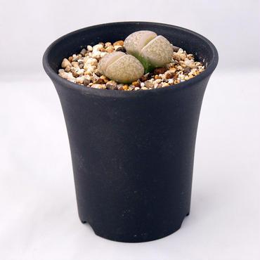 多肉植物  リトープス 紫勲玉(Lithops lesliei)