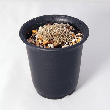 多肉植物  アボニア・アルストニー 白花(Avonia alstonii)  和名:うつぼ錦【送料無料】