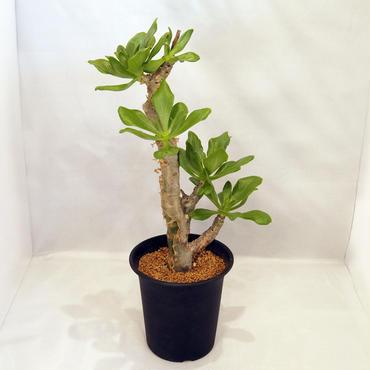 塊根植物 チレコドン・パニクラツス(Tylecodon paniculatus)  阿房宮