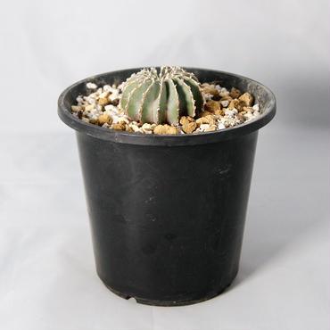 サボテン ゲオヒントニア・メキシカーナ(Geohintonia mexicana)  実生【送料無料】