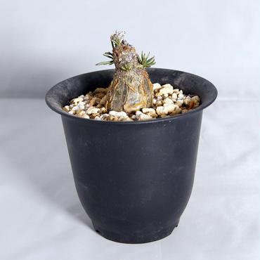 塊根植物 チレコドン・ペアルソニー(Tylecodon pearsonii)【送料無料】