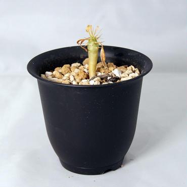 塊根植物 パキポディウム アンボンゲンセ(Pachypodium ambongense) 小