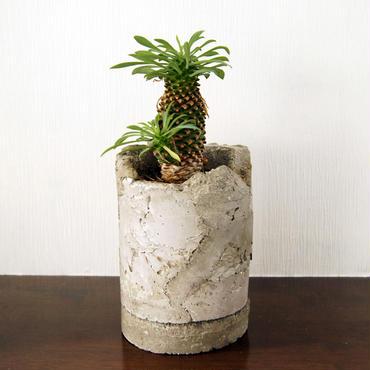 多肉植物 蘇鉄麒麟(Euphorbia hyb)鉢付き