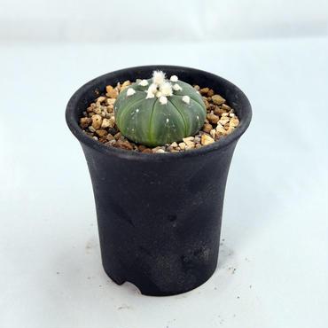 サボテン 瑠璃兜(Astrophytum asterias nudum)