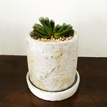 多肉植物 玉扇(Haworthia truncata)鉢付き