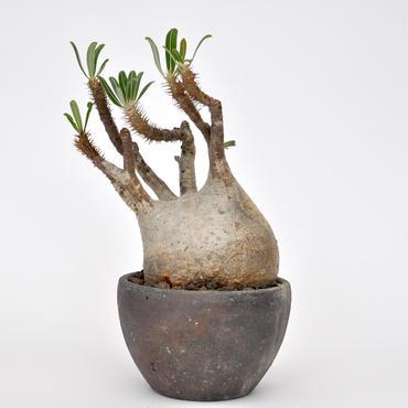 Pachypodium rosulatum var. gracilius no.1