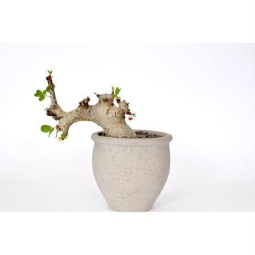 Commiphora guidottii no1