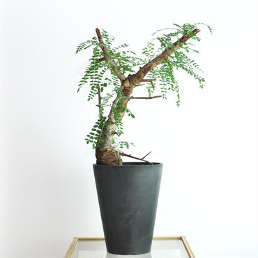 Boswellia neglecta no.4