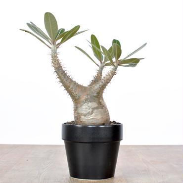 Pachypodium rosulatum var cactipes