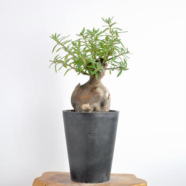Pachypodium bispinosum no.2 2018.01.27