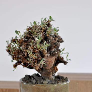 Othonna euphorbioides 黒鬼城