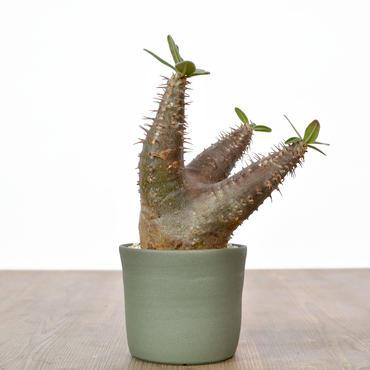 Pachypodium rosulatum var. cactipes