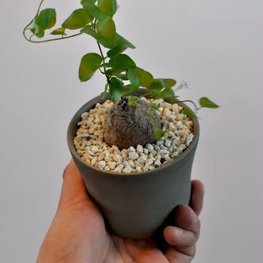 Dioscorea Elephantipes 亀甲竜