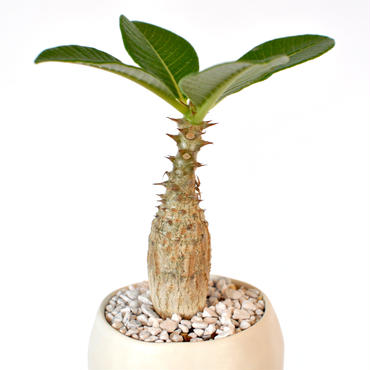 Pachypodium baronii var. windsorii
