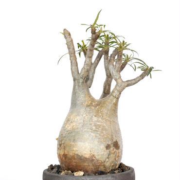 Pachypodium rosulatum var. gracilius 1