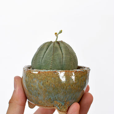 Euphorbia obesa 3008311