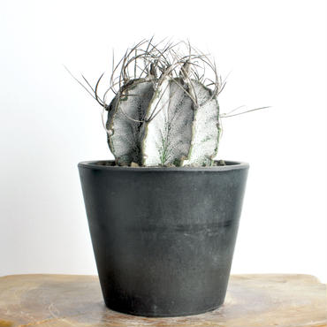 Astrophytum capricome var.niveum 白瑞鳳玉