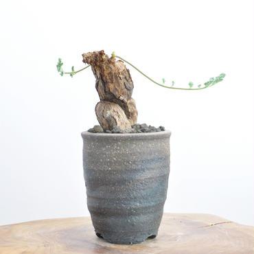 Pelargonium triste no.2   2017.12.23