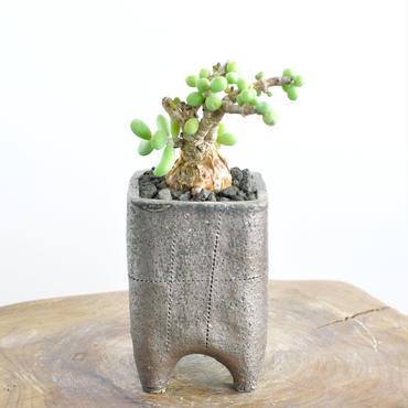 Ceraria pygmaea no.2