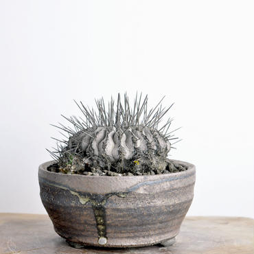 Copiapoa cinerea v. dealbata 黒士冠