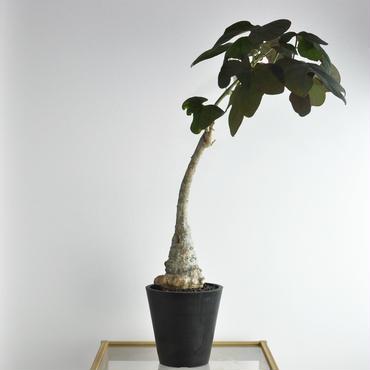 Adenia stylosa