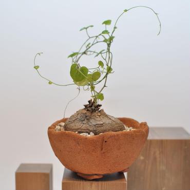 Dioscorea Elephantipes 亀甲竜 3010121