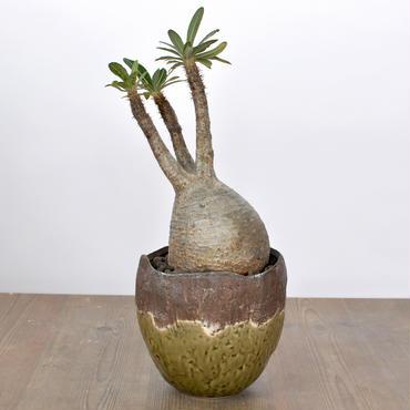 Pachypodium rosulatum var. gracilius