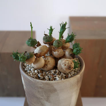 Euphorbia globosa   3011163