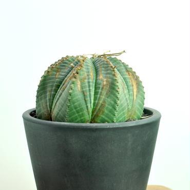 Euphorbia valida no.1