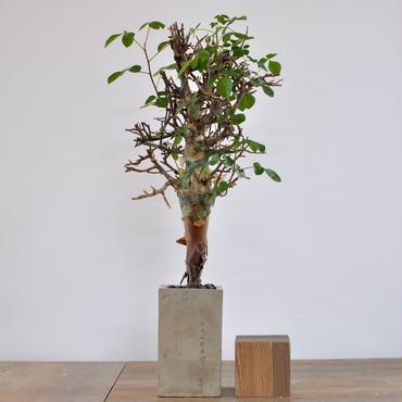 Commiphora pseudopaolii