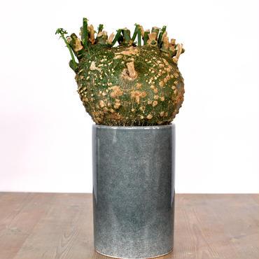 Adenia globosa no.3 2018.07.13