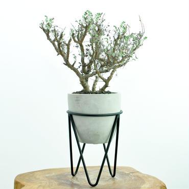 Pelargonium alternans