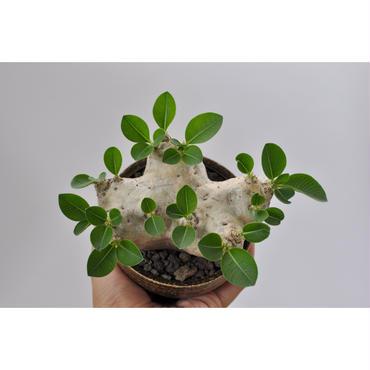Pachypodium brevicaule 恵比寿笑い