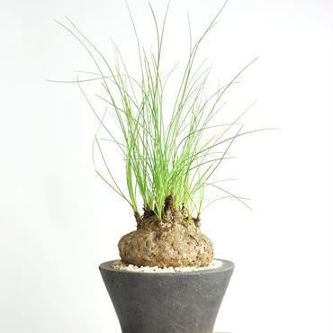 〔温室育ち〕カリバナス フーケリー