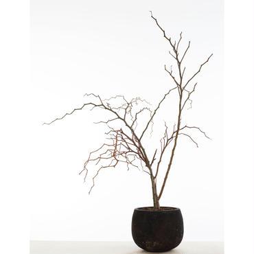 デカリアマダガスカリエンシス ジグザグの木