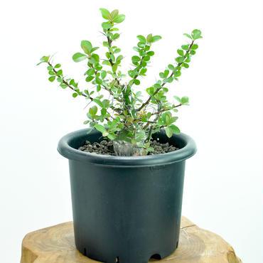 Fouquieria fasiculata