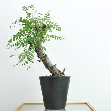 Boswellia neglecta no.1