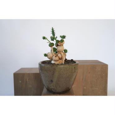 Euphorbia globosa   3011162
