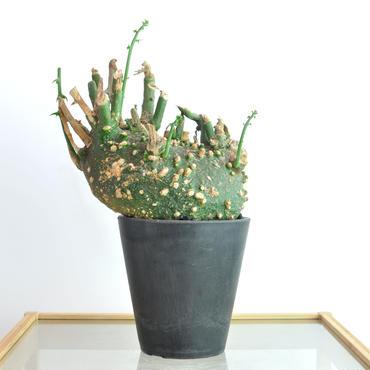 Adenia globosa no.4