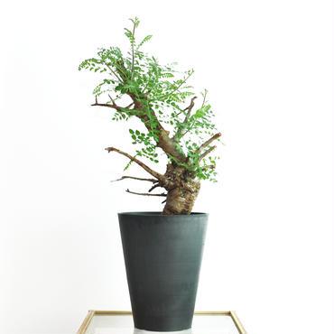Boswellia neglecta no.3