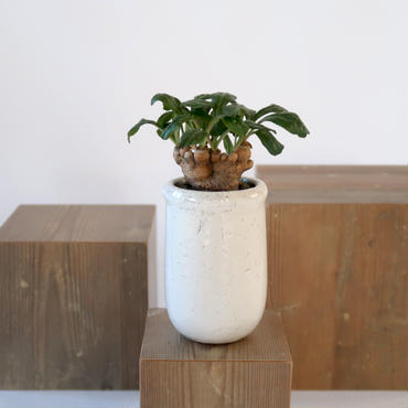 Euphorbia ecklonii